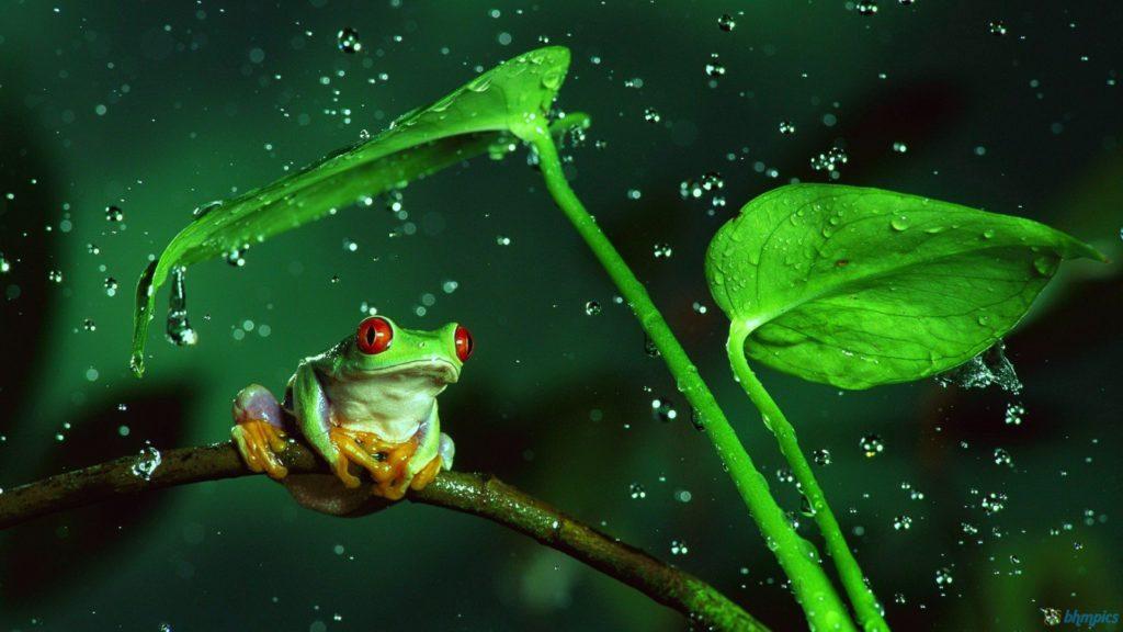 Rainy frog